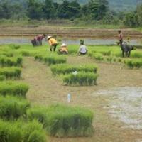 """wir sehen Reisbauern bei der Arbeit • <a style=""""font-size:0.8em;"""" href=""""http://www.flickr.com/photos/127204351@N02/19037638720/"""" target=""""_blank"""">View on Flickr</a>"""