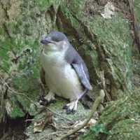 """blauer Pinguin • <a style=""""font-size:0.8em;"""" href=""""http://www.flickr.com/photos/127204351@N02/16039929689/"""" target=""""_blank"""">View on Flickr</a>"""
