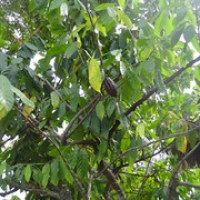 "ein Kakaobaum • <a style=""font-size:0.8em;"" href=""http://www.flickr.com/photos/127204351@N02/15690011386/"" target=""_blank"">View on Flickr</a>"