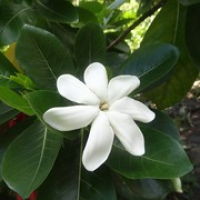 """Tiare...die Nationalblume Polynesiens • <a style=""""font-size:0.8em;"""" href=""""http://www.flickr.com/photos/127204351@N02/15716070020/"""" target=""""_blank"""">View on Flickr</a>"""