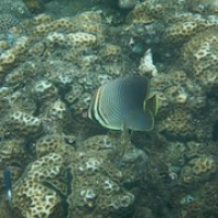 """Butterflyfish • <a style=""""font-size:0.8em;"""" href=""""http://www.flickr.com/photos/127204351@N02/17609221176/"""" target=""""_blank"""">View on Flickr</a>"""
