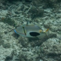 """Triggerfish • <a style=""""font-size:0.8em;"""" href=""""http://www.flickr.com/photos/127204351@N02/17360468571/"""" target=""""_blank"""">View on Flickr</a>"""