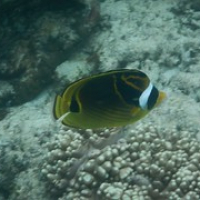 """Butterflyfish • <a style=""""font-size:0.8em;"""" href=""""http://www.flickr.com/photos/127204351@N02/17355160551/"""" target=""""_blank"""">View on Flickr</a>"""