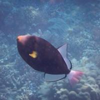 """ein kleiner Schönlingsfisch mit durchsichtigen Flossen • <a style=""""font-size:0.8em;"""" href=""""http://www.flickr.com/photos/127204351@N02/17447411458/"""" target=""""_blank"""">View on Flickr</a>"""
