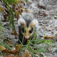 "ein süßes kleines Opossum • <a style=""font-size:0.8em;"" href=""http://www.flickr.com/photos/127204351@N02/15283679573/"" target=""_blank"">View on Flickr</a>"