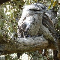 "der Tawny Frogmouth • <a style=""font-size:0.8em;"" href=""http://www.flickr.com/photos/127204351@N02/16632505302/"" target=""_blank"">View on Flickr</a>"
