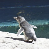 """blauer Pinguin • <a style=""""font-size:0.8em;"""" href=""""http://www.flickr.com/photos/127204351@N02/16038421378/"""" target=""""_blank"""">View on Flickr</a>"""
