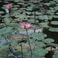 """Lotus • <a style=""""font-size:0.8em;"""" href=""""http://www.flickr.com/photos/127204351@N02/17508964882/"""" target=""""_blank"""">View on Flickr</a>"""