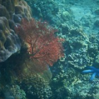 "rote Korallen und blaue Seesterne • <a style=""font-size:0.8em;"" href=""http://www.flickr.com/photos/127204351@N02/17617216722/"" target=""_blank"">View on Flickr</a>"